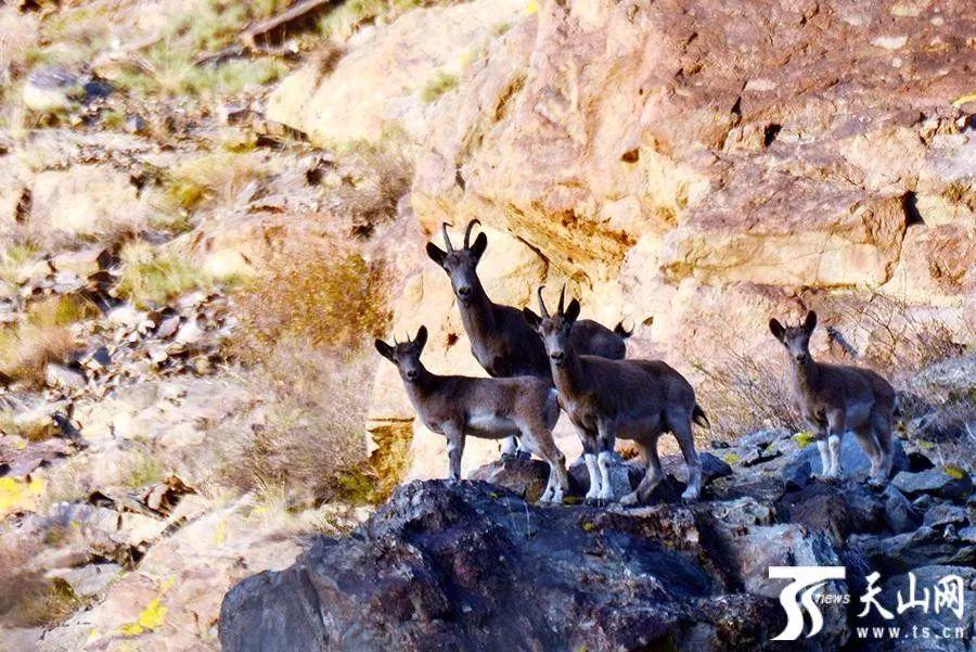 雪豹卖萌 小狐狸讨食 ……小可爱出动 带你走进不一样的新疆
